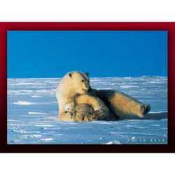 Fotografia Polar Bear Cm 80x60