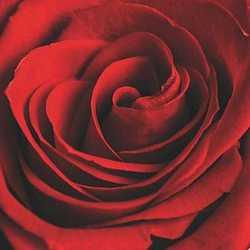 canvas Rosa rossa 80x80
