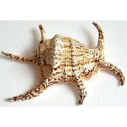 Conchiglia Lambis Chiragra cm 23x16