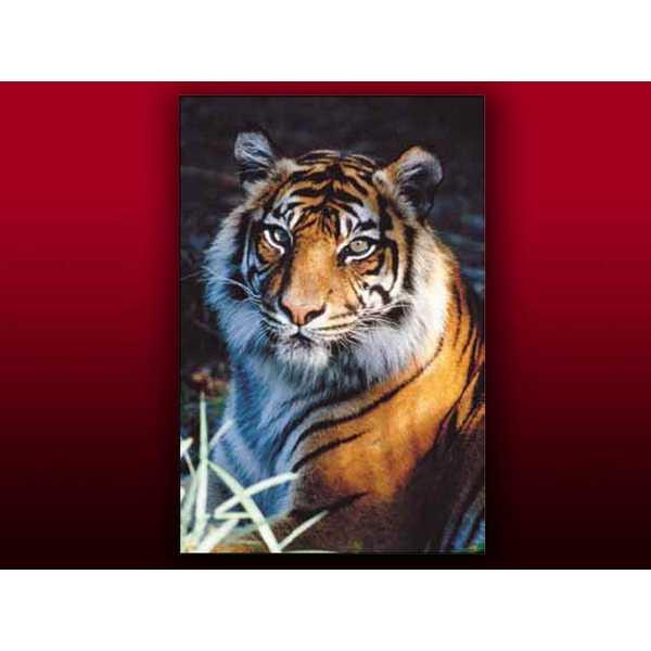 official photos 519f6 15880 Fotografia Tiger Cm 35x50